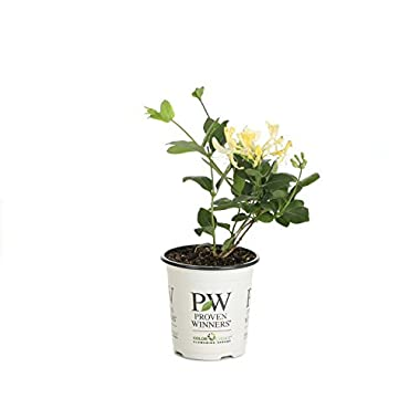 Scentsation Honeysuckle (Lonicera) Live Shrub, Yellow Flowers and Red Berries, 4.5 in. Quart