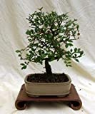 Specimen Chinese Elm Bonsai Tree in 10' Bonsai Pot, 3ce From Hollow Creek Bonsai