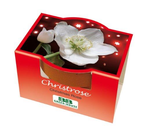 10er Set Mini-Pflanzset Christrose