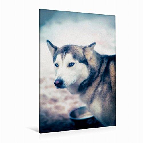 CALVENDO Premium Textil-Leinwand 80 cm x 120 cm hoch, EIN Motiv aus dem Kalender Huskies - Artwork   Wandbild, Bild auf Keilrahmen, Fertigbild auf echter Husky Portrait Tiere Tiere