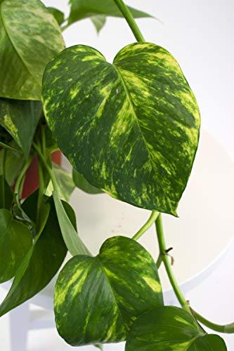 Leaf & Linen | Hanging Collection Devil's Ivy or Pothos Epipremnum Aureum, Heart-Shaped Leaves Fast Vining Indoor Houseplant,