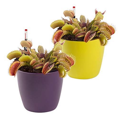 Swampworld Venusfliegenfalle - Fleischfressende Pflanze - 2er Set + Wassermessers und Farbige Töpfen - Topfgröße Ø 9 cm - Pflanzenhöhe 10-12 cm