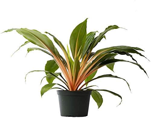 AMERICAN PLANT EXCHANGE Rare Fire Flash Mandarin Chlorophytum Spider...
