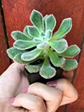 1 Echeveria Doris Taylor, Live Rooted Healthy Echeverias, Woolly Rose, Rare Live Plant