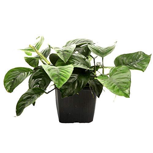 Tropica Mutterpflanze Aquarium Pflanze Anubias barteri caladiifolia XL Nr.101U Wasserpflanzen Aquarium Aquariumpflanzen