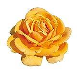 Emozione®, rosaio di Rose Barni®, rosa in vaso colore giallo oro linea prestigio, ideale per coltivazione in vaso e cespugli, rifiorente e robusta cod.71108