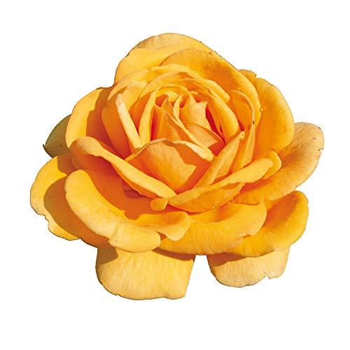 Emozione, rosaio di Rose Barni, rosa in vaso colore giallo oro linea prestigio, ideale per coltivazione in vaso e cespugli, rifiorente e robusta cod.71108