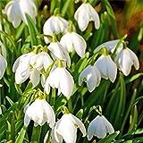 発芽SEEDS:スノードロップの種花スノードロップNLIS種子の100pcs /ロット美しい庭園ジング種子盆栽バルコニーの花