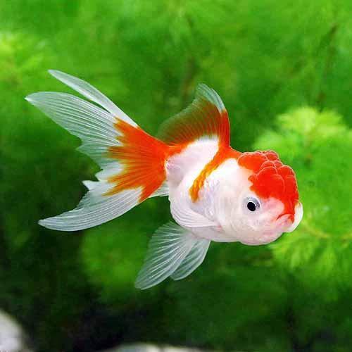 (国産金魚)更紗オランダ獅子頭(1匹)