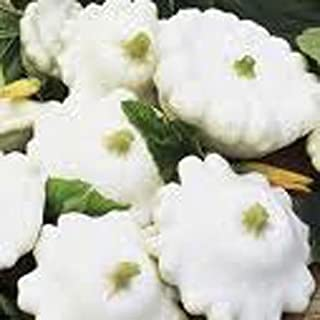 Best white scallop squash plant Reviews