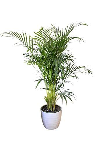 Plante d'intérieur - Plante pour la maison ou le bureau - Chrysalidocarpus lutescens - Palmier Areca - Palmiste multipliant, hauteur 1,4 m