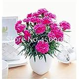 。ホームガーデンの植栽のための 200pcsのカーネーション植物ファミリーバルコニーフォーシーズンズ鉢植え多年生の花工場:18