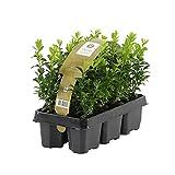 6x Buxus Sempervirens   6er Set Buchsbaum Pflanzen   Heckenpflanzen Immergrün Winterhart Schnellwachsend   Höhe 25-30 cm