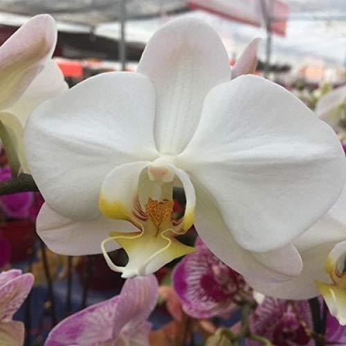 Aerlan Exotic Flower Seeds,Scented Flower Seeds,Phalaenopsis Blue Flower Purple Flower Iris 15pcs/Pack-B_100 packs