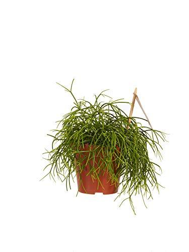 Rhipsalis | Plante succulente | plante d'intérieur| hauteur 20 cm | Pot 12 cm | Entretien facile