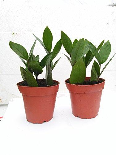 Two Zz Plant - Zamioculcas Zamiifolia - 4