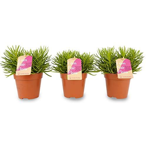 Nachhaltig produzierte Zimmerpflanze von FAIR FLORA® – 3 x Schwertfarn – Höhe: ca. 18 cm – Lateinischer Name: Nephrolepis Duffi