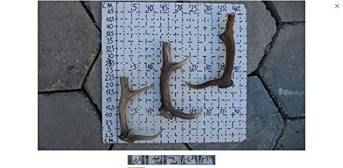 Robert Tartufferie herten Antler natuurlijke hond kauwen - groot (set van 3 herten hele Antlers niet gesneden Antlers en laatste lang met honden) of kunst ambachten gereedschap maken, deurklink etc.