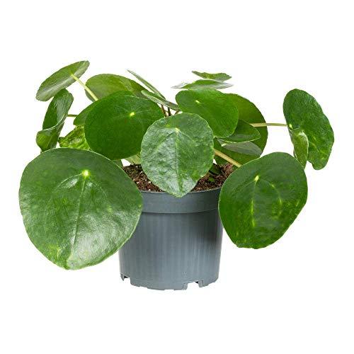 Florado Chinesischer Geldbaum, echte Zimmerpflanze, Pflanze, Glückstaler, Ufopflanze, Topfgröße 12cm