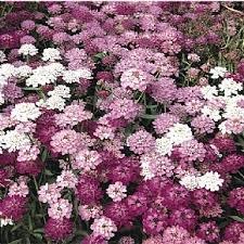 Le sale jardinier Candytuft Nain Fée Fleur Mix - 50 graines