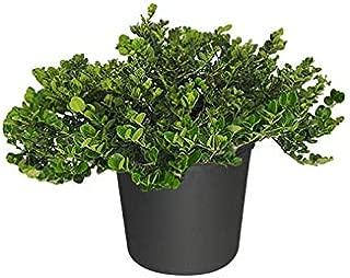PlantVine Carissa macrocarpa 'Emerald Blanket', Natal Plum, Carissa grandiflora - Large - 8-10 Inch Pot (3 Gallon), Live Plant