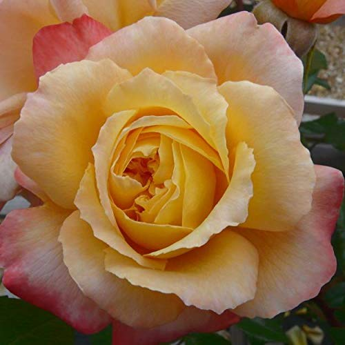 Sunny Abundance Garden Bush Rose in a 3.5 Litre Pot