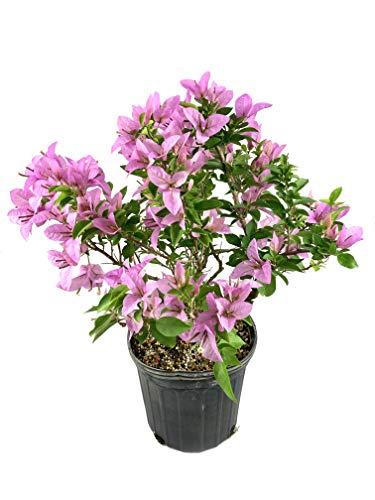 Lavender Bougainvillea - Live Plant in a 3 Gallon Pot - Beautiful and Vibrant Flowering Shrub
