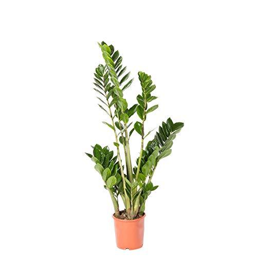 Pflanzen Kölle Glücksfeder, Zamioculcas zamiifolia, Gesamthöhe ca. 55-75 cm