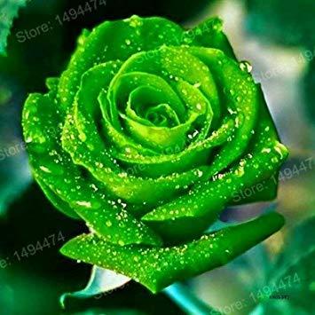 Vistaric 200 pcs Rare Mixte Couleur Rose Graines arc-en-rose rose graines Plante vivace fleurs bonsaï pot Maison Jardin Décoration Graines De Fleurs Vert