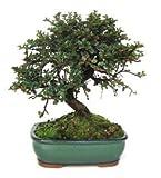 Bonsái Cotoneaster de 7 Años Planta Natural de Exterior e Interior