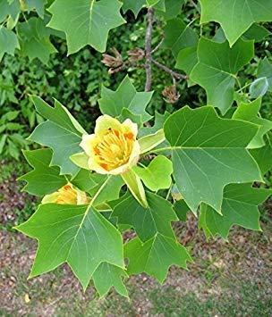 Vista 50 Samen Liriodendron Tulipifera Samen Schöne Foilage Pflanze Baum Tulpe Pappel Samen Chinesische Tulpe Baum Blume Bonsai Hausgarten
