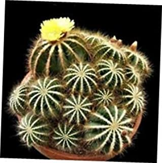 TYU Balloon Cactus Seeds - LY2210 (40 Seeds)