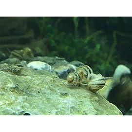 Sumpfdeckelschnecke Blasenschnecken