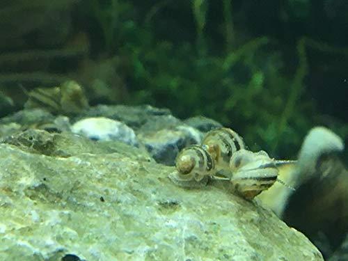 Topbilliger Tiere Sumpfdeckelschnecke Jungtiere/Blasenschnecken - Futterschnecken für Kugelfische 10x
