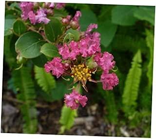 GBH 25 Fresh Seeds Beautiful Crape Myrtle Lagerstroemia Indica Bonsai - RK1610