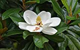 Pianta di Magnolia Grandiflora in vaso h.60/80 cm magnolia sempreverde