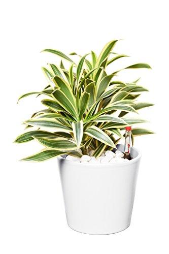 EVRGREEN | Zimmerpflanze Drachenbaum in Hydrokultur mit weißem Topf als Set | Dracaena reflexa Song of India
