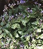 Pulmonaria (Lungenkraut) officinalis 100 Samen
