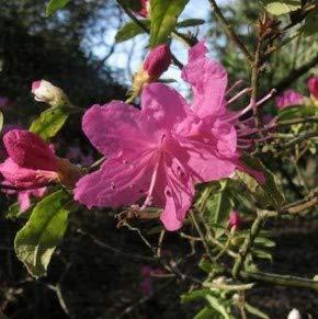 Dahurischer Rhododendron April Rose 30-40cm - Rhododendron dauricum