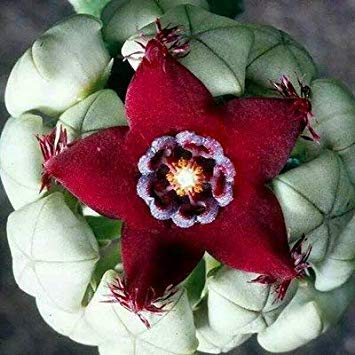 100 pc/Bag Vero e Proprio Mini Succulente Cactus Bonsai Rare Succulente pianta erbacea perenne Vaso da Fiori Coperta Planta per la casa Garden Decor: 14