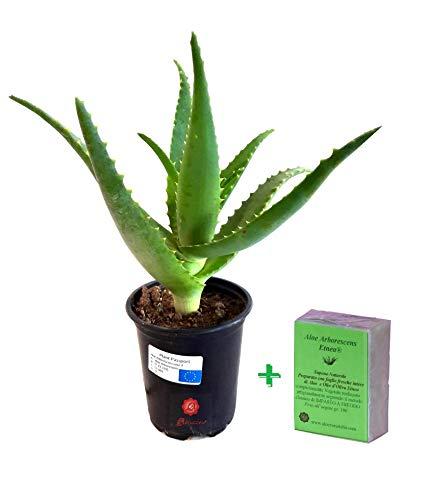 Pianta Aloe Arborescens Etnea da coltivazione bio biologica Vera Piantina Piccola in vaso 20 cm per esterno interno casa giardino 1 anno di etá foglie gel + Sapone 100 gr Biologico
