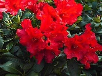 SANHOC Samen-Paket: Rhododendron Baden Baden - Rhododendron - inSEED