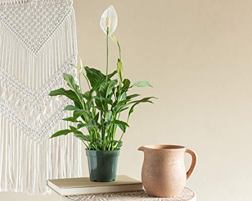 LIVETRENDS/Urban Jungle Peace Lily (Spath) 4英寸种植盆,(活植物)
