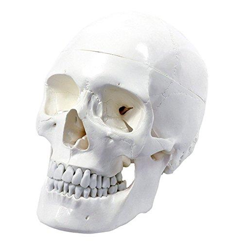 Cranstein A-210 Schädel - Modell für Anatomieunterricht, 3-teilig