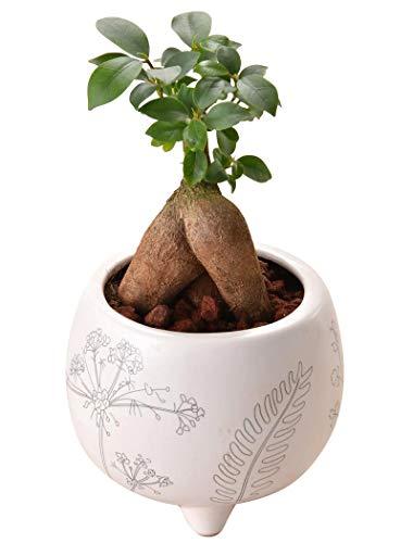 花のギフト社 ガジュマルの木 ガジュマル鉢植え 多幸の木 ガジュマル がじゅまる ミニ観葉植物 観葉