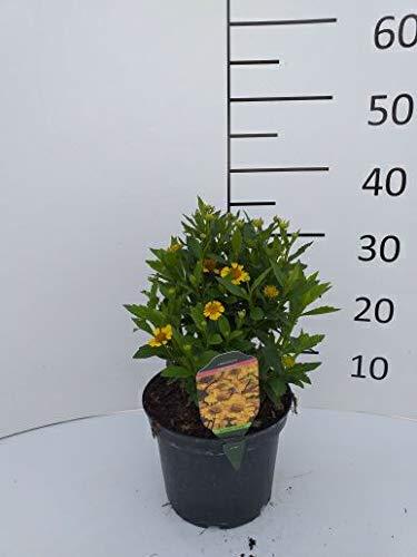 Späth Staude im Topf Herbst-Sonnenbraut 'Sombrero' gelb blühend, Blütenstauden mehrjährig 1 Pflanze