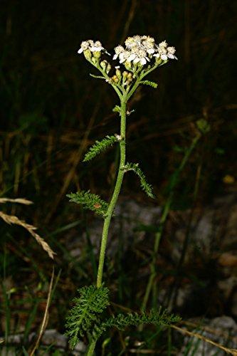 Asklepios-seeds® - 2000 Semi di Achillea millefolium, Achillea millefoglie