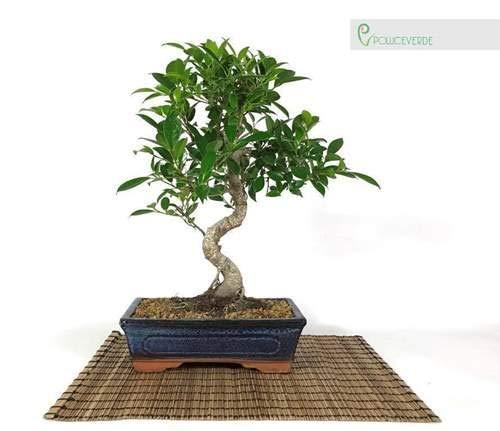 Bonsai di Ficus vaso cm. 25