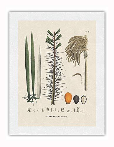 Palmera Murumuru (Astrocaryum Murumuru) - Flor y Semilla - Ilustración botánica de Carl Friedrich Philipp von Martius c.1800s - Impresión de Arte Papel Premium de Arroz Unryu 43x56cm