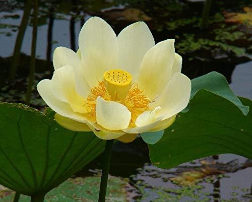 5 Nelumbo lutea Samen, amerikanische Lotusblume, Wasserpflanze, winterhart, frisch eingetroffen im Juli 2020.